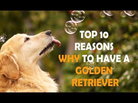 Top 10 Reasons to OWN A GOLDEN RETRIEVER