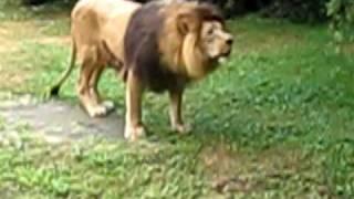 O Leão violento