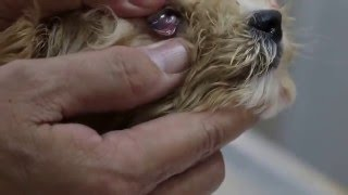 A new Malti-poo puppy has kennel cough