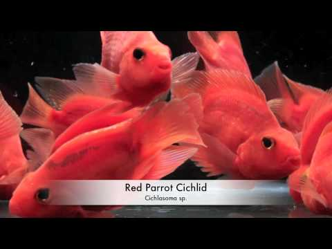 red parrot cichlid / Aquarium Tropical Fish