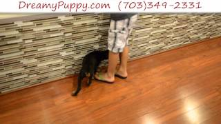 Stunning Doberman Pinscher Female Puppy 2