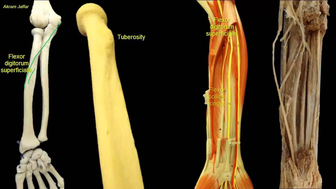 Osteology Of The Radius Youtube