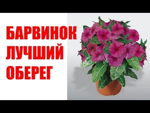 Катарантус розовый (Барвинок) - Владимир Шепитов