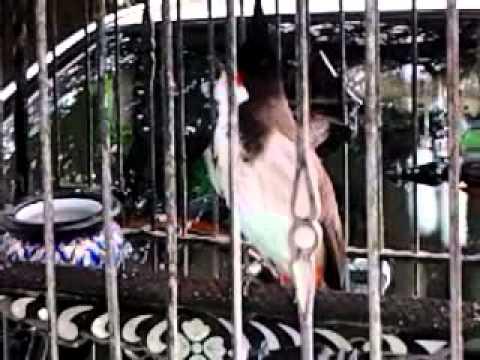 นกป่าละอูดอกพิเศษ ค้าวคาว ตี้สุราษ2