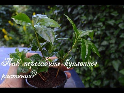 Вопрос: Можно ли сажать кофейное дерево в почву для азалий?