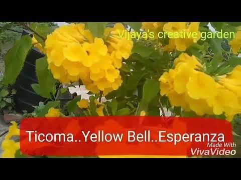 No 130 how to care tecoma stans esperanzayellow bells with no no 130 how to care tecoma stans esperanzayellow bells with no carehindiurdu mightylinksfo