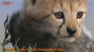THE TOP 10    TOP 10 ANIMALS SAVE THEIR CALF FROM DEATH    Amazing Animals save calf from death