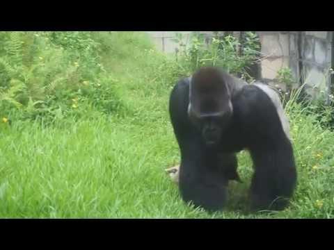 Sad Captured Gorilla at Taipei Zoo