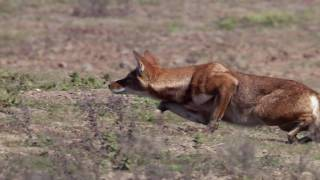 Life - Stalking Ethiopian Wolf