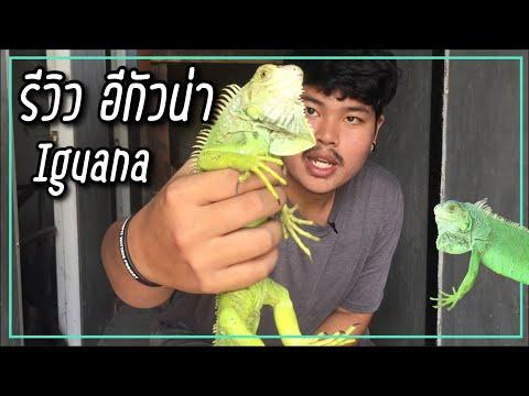 อีกัวน่า ( New Iguana )