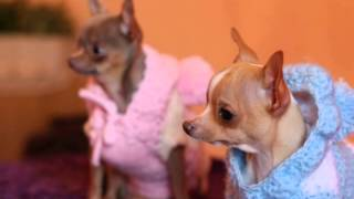 Luchy's Dog (Chihuahua)