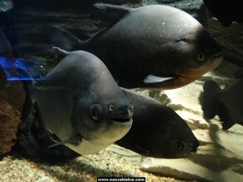 Oceanarium w Kielcach - Piranie, Rekiny, Rafa koralowa i inne
