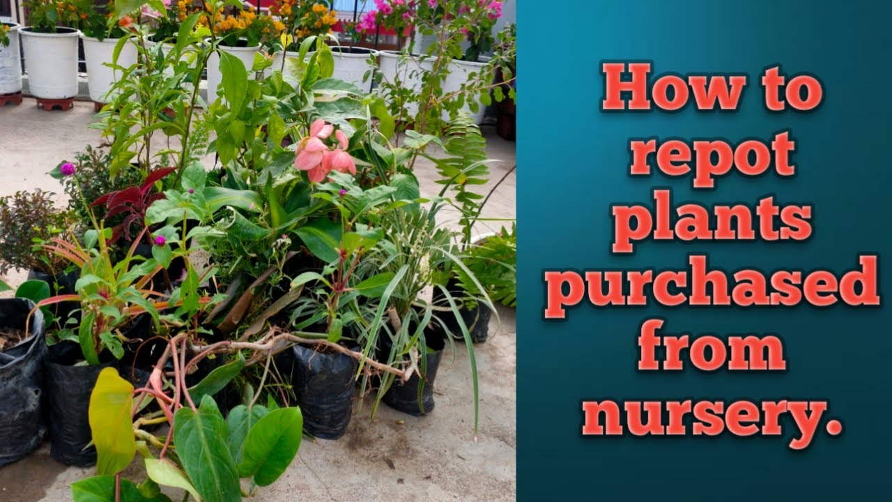 How to repot a plant purchased from nursurey/ repot nursurey plant