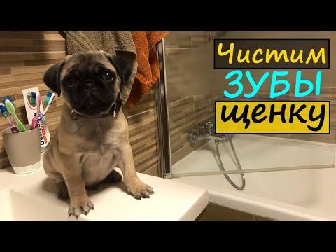 Щенок МОПСА Уход за щенком Как чистить зубы собаке