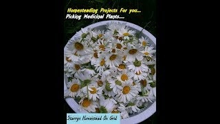 Homesteading Projects With  Starry : Medicinal Plant Picking