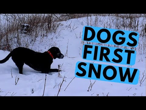 Labrador Puppy Runs In The Snow For The First Time