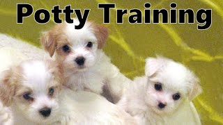 How To Potty Train A Havashire Puppy - Havashire House Training - Housebreaking Havashire Puppies