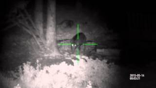 Pigs eating in the forest, very dark | Night time hunting ATN X-Sight HD