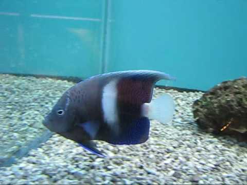 White Bar Maculosus Angelfish