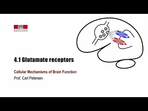 4.1 Glutamate receptors