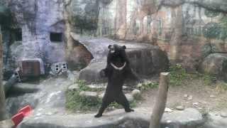 在臺北市立動物園跳舞者台灣黑熊 / Taiwanese black bear dancing at Taipei Zoo