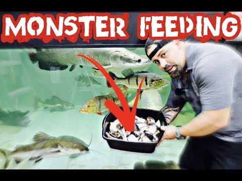 FEEDING MONSTER FISH  *REDTAIL CATFISH*, *ARAPAIMAS*, *AROWANAS* And Many More