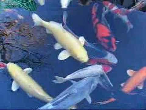 Koi fish varieties youtube for Koi youtube