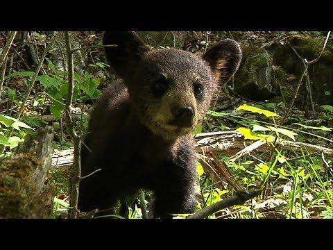 Black Bear cub shows survival instinct   BBC Earth