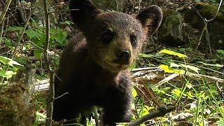 Black Bear cub shows survival instinct | BBC Earth
