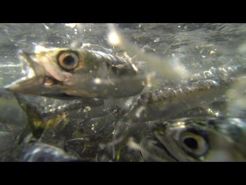 Bait Barge Moving Because Navy Construction May Kill Fish