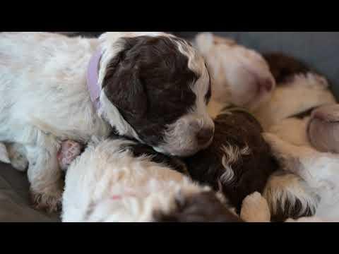 Lagotto Puppies at 15 days