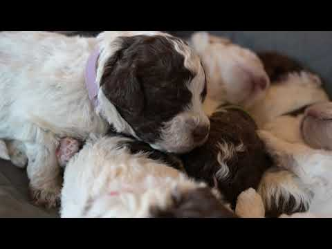 Lagotto Puppies | 15 days old