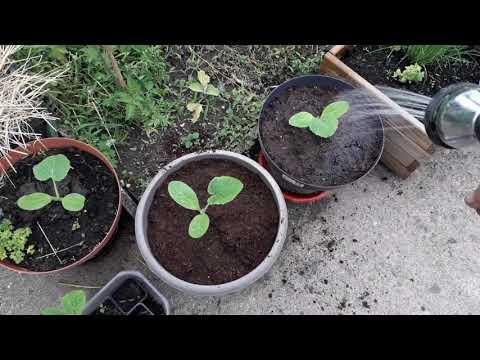 Comment je cultive les courgettes en pot - semis et ...