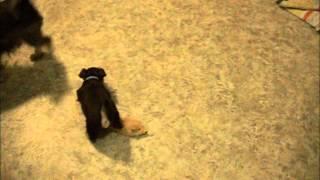 6 Week Old Toy Schnauzer Puppies