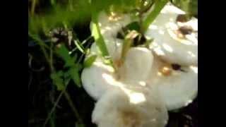 Белянка секреты сбора этого гриба.(Грибы белянки- самые вкусные соленые грибы. Это грибы, ножку которых можно есть сырой. Она очень вкусная,..., 2013-04-01T08:59:06.000Z)