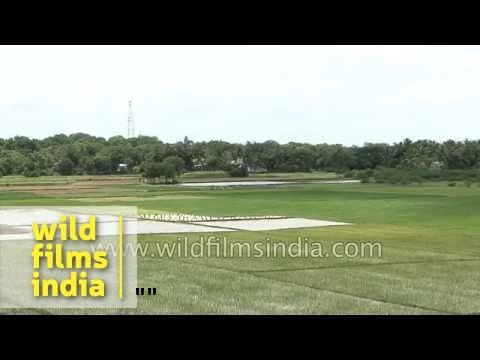 Farmers walk through their paddy fields - Tamil Nadu, India