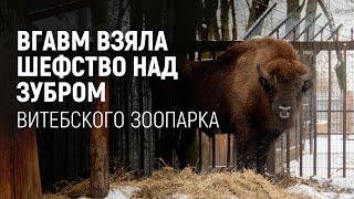 ВГАВМ взяла шефство над зубром Витебского зоопарка