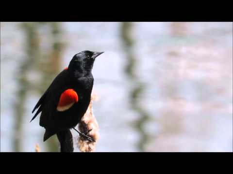 Listen to the red wing black bird