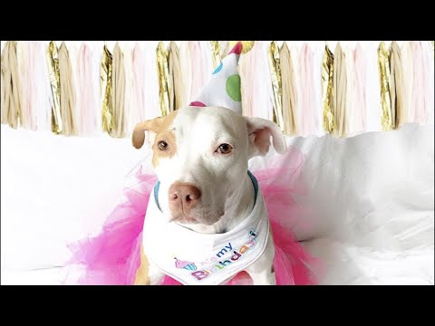LIVE: Pit Bull Dog Celebrates Adoption Anniversary at The Dodo Funny Viral Videos on VIRAL CHOP VIDEOS