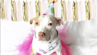 LIVE: Pit Bull Dog Celebrates Adoption Anniversary at The Dodo