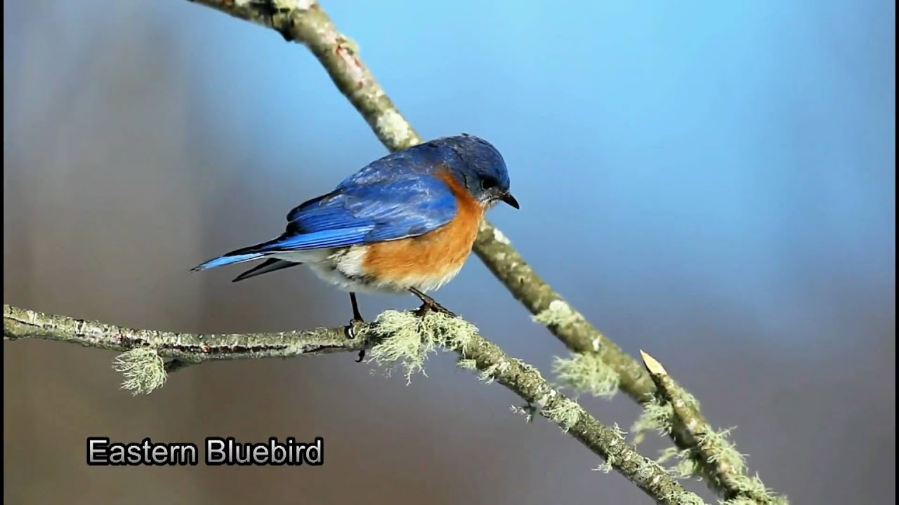 Eastern Bluebird Facts, Information, and Photos