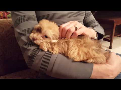 Pumpkin the Little Red Havanese Puppy Cuddling and Playing