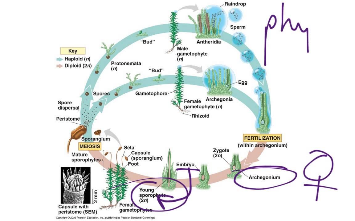 Moss life cycle youtube pooptronica