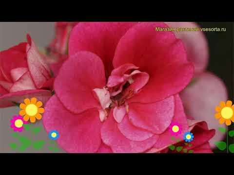 Пеларгония амурская, плющелистная Тоскана пиа. Краткий обзор pelargonium x hortorum Toscana pia