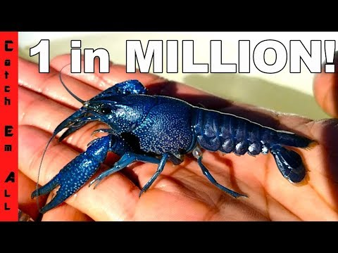LOST BLUE LOBSTER! **CLAW PINCH TEST** 1 in 2 MILLION