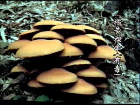 生態保育宣導短片   路邊野菇別亂採台灣毒蕈介紹