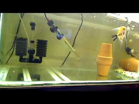 Breeding pair koi angel fish feeding youtube for Raising koi fish