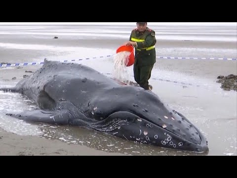 Police Drag Beached Humpback Whale Back Out to Sea