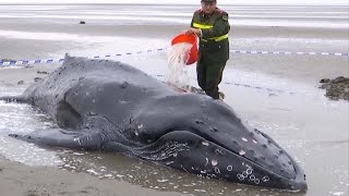 Police Drag Beached Humpback Whale Back Out to Sea thumbnail