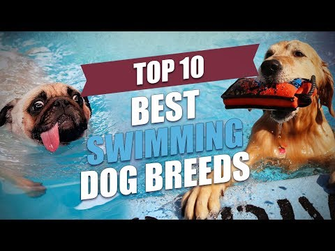 Top 10 Best Swimming Dogs